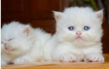Hướng dẫn cách cai sữa cho mèo con